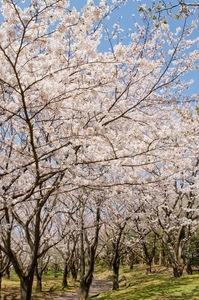 cropSSK_sakuranomichi.jpg